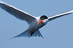 Elegant Tern, Extreme Close Portrait in Flight, Bolsa Chica Wildlife Refuge, Southern California