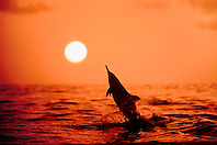 spinner dolphin, leaping at sunset, Stenella longirostris, Kona, Big Island, Hawaii, Pacific Ocean (pc)