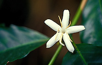 "A white star-shaped """"coffee blossom"""" peers out from the green leaves of a coffee tree on the Big Island of Hawaii."