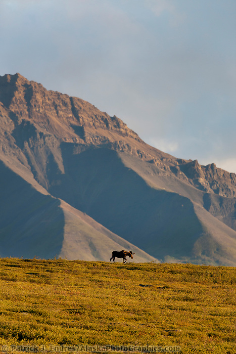 Bull moose in velvet antlers walks along a tundra ridgeline in the late evening sunshine with the Alaska Range mountains in the distance.
