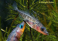1S17-519z  Male Threespine Sticklebacks defending territories, Mating colors showing bright red belly and blue eyes,  Gasterosteus aculeatus,  Hotel Lake British Columbia