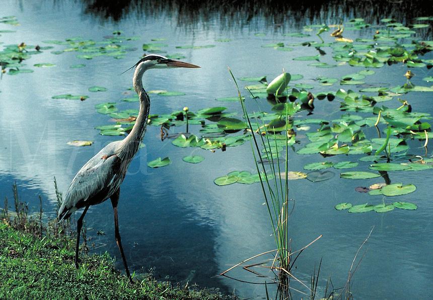 A Great Blue Heron seen in Everglades National Park, Florida.   Wetlands, conservation, wildlife, animals, birds. Florida, Everglades National Park.