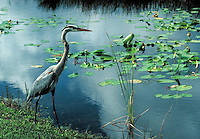 A Great Blue Heron seen in Everglades National Park, Florida.   Wetlands, conservation, wildlife, animals, birds. Florida, Everglades National Park.