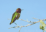 Anna's Hummingbird (Calypte anna) male, Bolsa Chica Ecological Reserve, California, USA