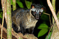 The common palm civet (Paradoxurus hermaphroditus), or Asian Palm Civet, Musang (in Malaysia and Indonesia), Luak or Luwak, or Toddy Cat, is a cat-sized mammal in the family Viverridae A nocturnal omnivore, the palm civet hunts alone. They are expert climbers and spend most of their lives in trees. They eat small vertebrates, insects, ripe fruits and seeds. They are very fond of palm sap, therefore their common name.