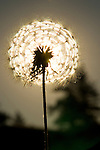 Close up of a Dandelion Back Lit