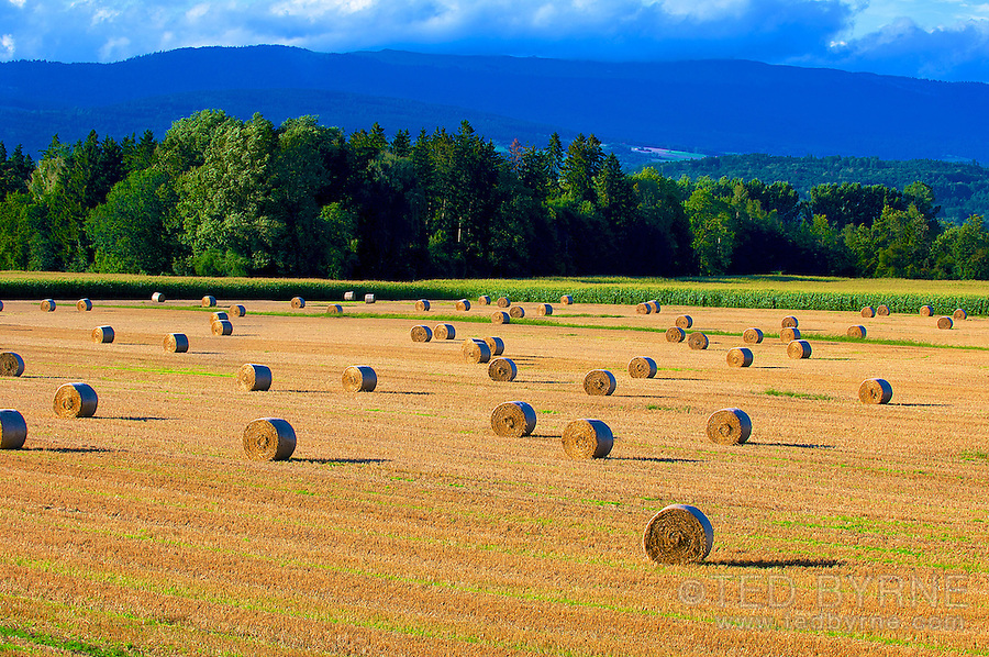 Field of recently harvested hay bales