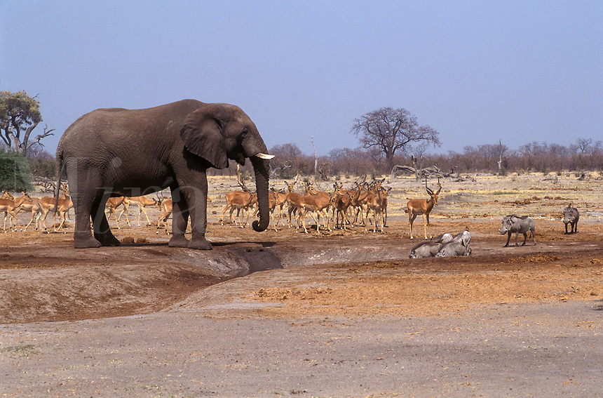WARTHOGS & IMPALAS wait for an ELEPHANT to finish drinking in the SAVUTI MARSH - CHOBE NATIONAL PARK