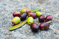 Olive harvest, Gandria, Ticino, Switzerland, November 2013.