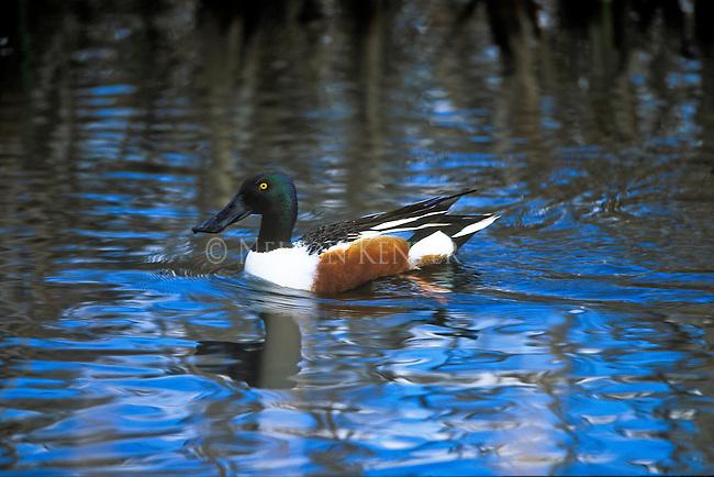 A Shoveler Drake on a pond in Montana