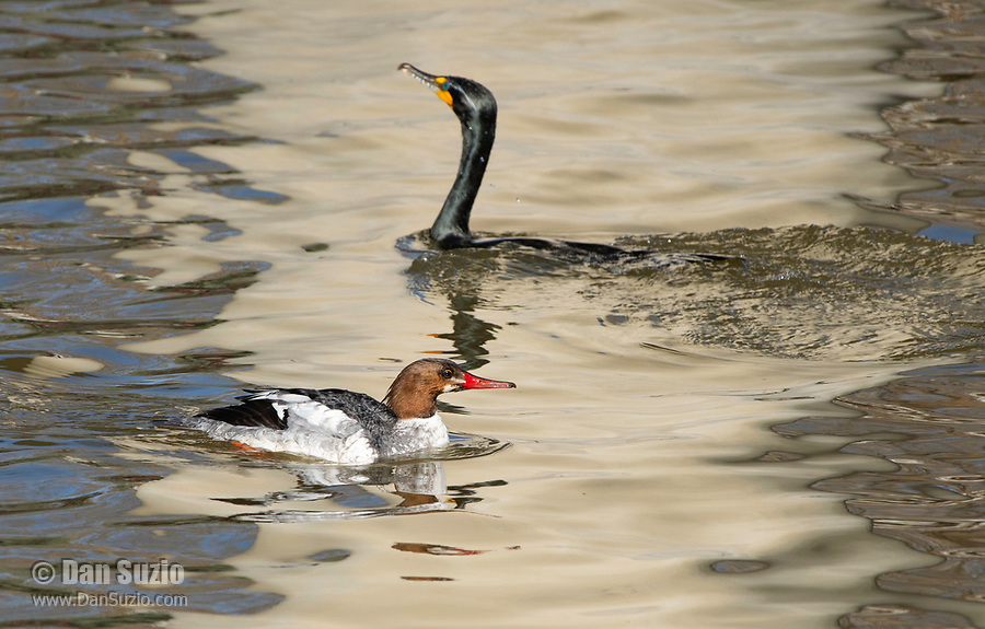 Male Common Merganser, Mergus merganser, in transition to breeding plumage, swimming with Double-crested Cormorant, Phalacrocorax auritus, on Lake Ewauna, Oregon