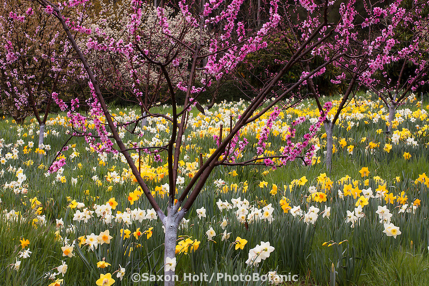 spring flowering honey peach tree 'Pallas' in orchard among daffodils at Filoli Garden