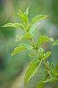 Spearmint (Mentha spicata 'Brundall').