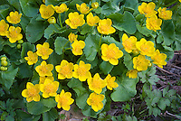 Caltha palustris marsh marigolds in spring flower in wet garden soil