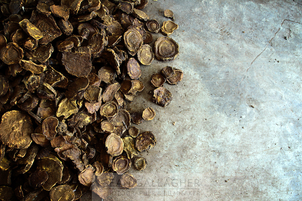 Chinese medicine brought into the collection center in Pingwu County, Sichuan. It is estimated that 75 percent of commercially harvested traditional Chinese medicine comes from the mountainous forests of the upper Yangtze region.  Pingwu County in Sichuan Province, south-west China.