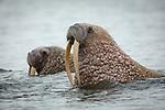 Walrus. Unimak Island, Alaska.
