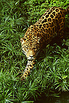 A jaguar with spotted fur searching through green tropical vegetation. The jaguar (Panthera onca) is the largest of the big cats found in the New World. It is relatively rare throughout its range from Mexico to Argentina. Best known as a denizon of tropical rainforests, jaguars also inhabit grasslands and scrub habitats where they are predators of deer, capybara and other animals. [captive animal]