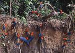 Red and green macaws at clay lick