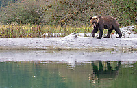 A male grizzly bear searches for food in an estuary in the Great Bear Rainforest.