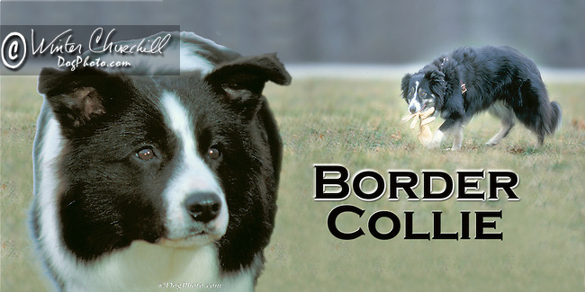 Border collie at work in the field This design is offered on gift merchandise ONLY.<br /> <br /> You'll find all the merchandise options listed IN THE CART so add a design to your shopping cart first. All merchandise item are shipped straight to you from our lab in Dallas, Tx.