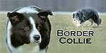 Border collie at work in the field This design is offered on gift merchandise ONLY.<br />