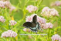 03029-01504 Spicebush Swallowtail Butterfly (Papilio troilus) on Swamp Milkweed (Asclepias incarnata), Marion Co., IL
