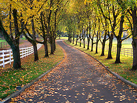 Tree lined road and fence with maple trees in fall color. Oregon
