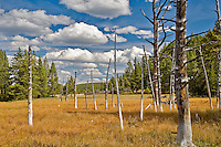 "Dead trees, ""Bobbysocks"" trees with puffy white clouds. Yellowstone National Park, WY"