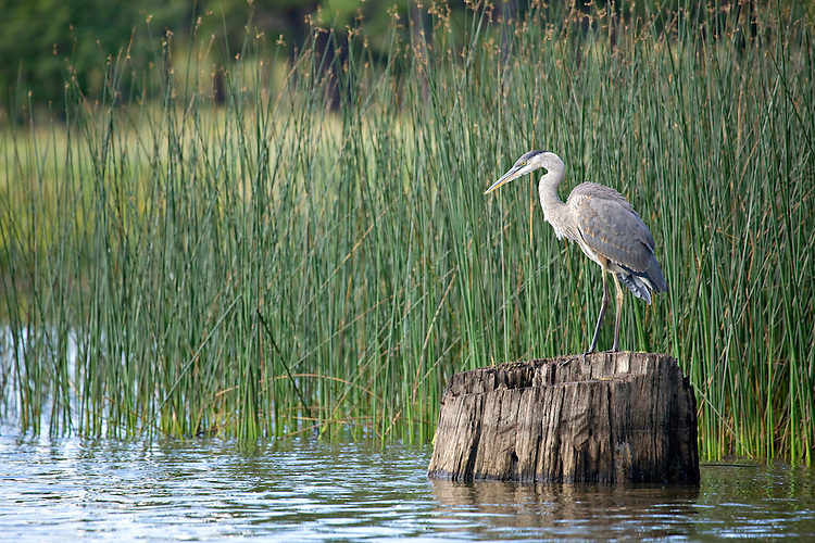A solitary Great Blue Heron (Ardea herodias) hunts for fish at White Horse Lake, Kaibab National Forest, Arizona