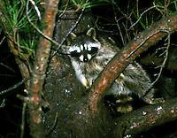 Raccoon at night in tree, eyes shining, Saline County, Arkansas
