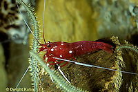 TQ01-002z  Hawiian Crab Shrimp - salt water