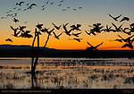 Snow Goose Scenics