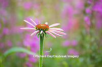63821-22915 Purple Coneflowers (Echinacea purpurea) Marion Co., IL