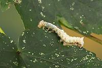 Ahorn-Zahnspinner, Raupe, Ahornzahnspinner, Ptilodon cucullina, Ptilodontella cucullina, Lophopteryx cuculla, Maple Prominent, caterpillar, Le Capuchon, Zahnspinner, Notodontidae, prominents