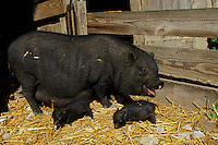 Potbelly sow with piglets