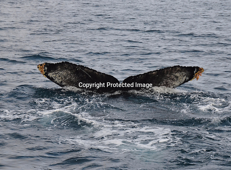 Stock photo of Humpback tail fluke