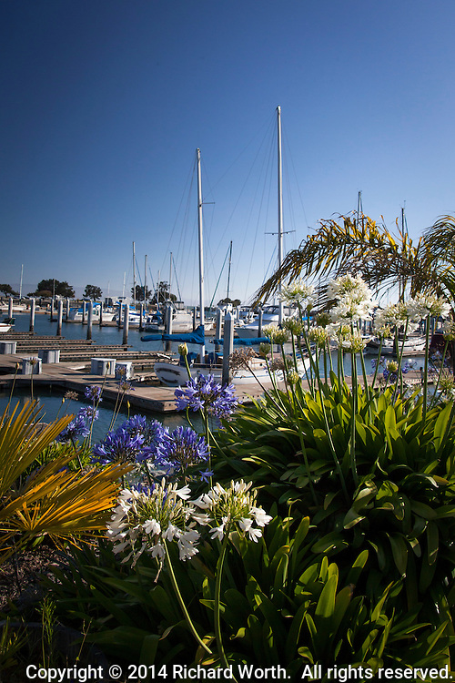Landscaping at the San Leandro Marina on San Francisco Bay includes these white and blue Agapanthus, also known as Lily of the Nile.