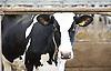 Cows 11th August 2015