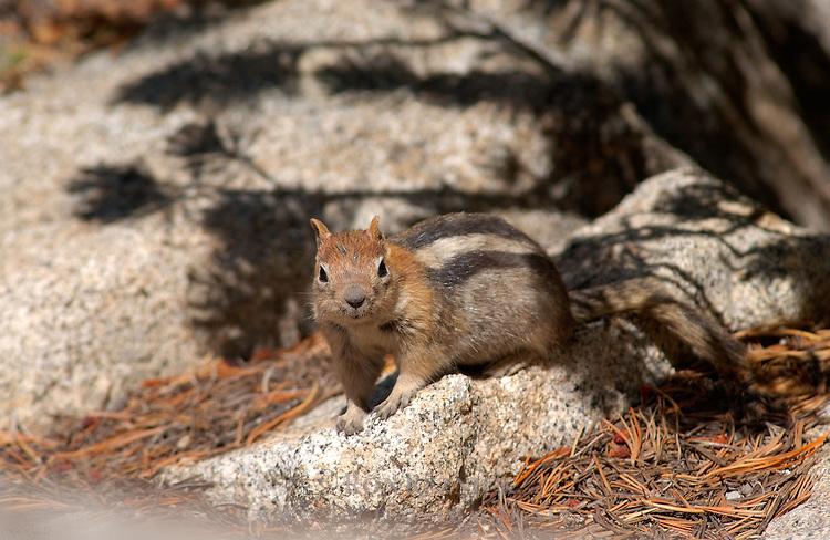 Golden Mantle Squirrel Mammoth Crest High Sierras California