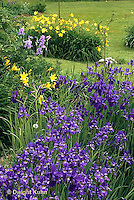 HB05-028x  English Cottage Garden - yellow day lilies, bearded iris - Hemerocallis spp, Iris spp.