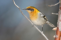 Olive Warbler - Peucedramus taeniatus - male
