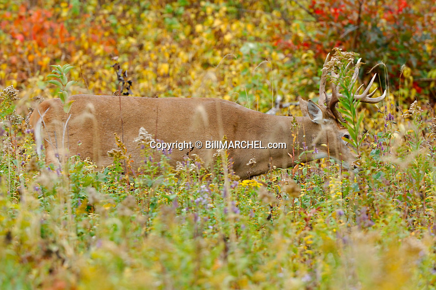 00274-335.15 White-tailed Deer Buck is feeding in overgrown clearcut during early fall.  Hunt, food, logging, log, manage, forest.