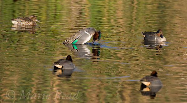 Green-winged Teal (Anas crecca) male performing courtship display, Upper Newport Bay, California, USA