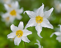 Avalanche Lilies or White Avalanche Lilies (Erythronium montanum).  Subalpine wildflower.  Pacific Northwest.
