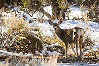 Deer in the snow covered mountains of southern Utah.