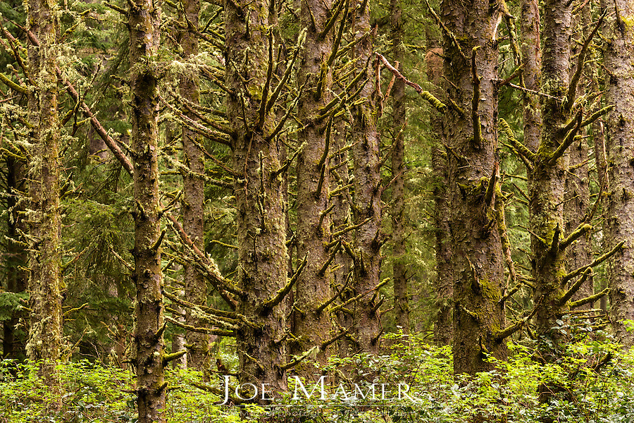 Sitka Spruce forest at Cape Meares State Scenic Viewpoint.