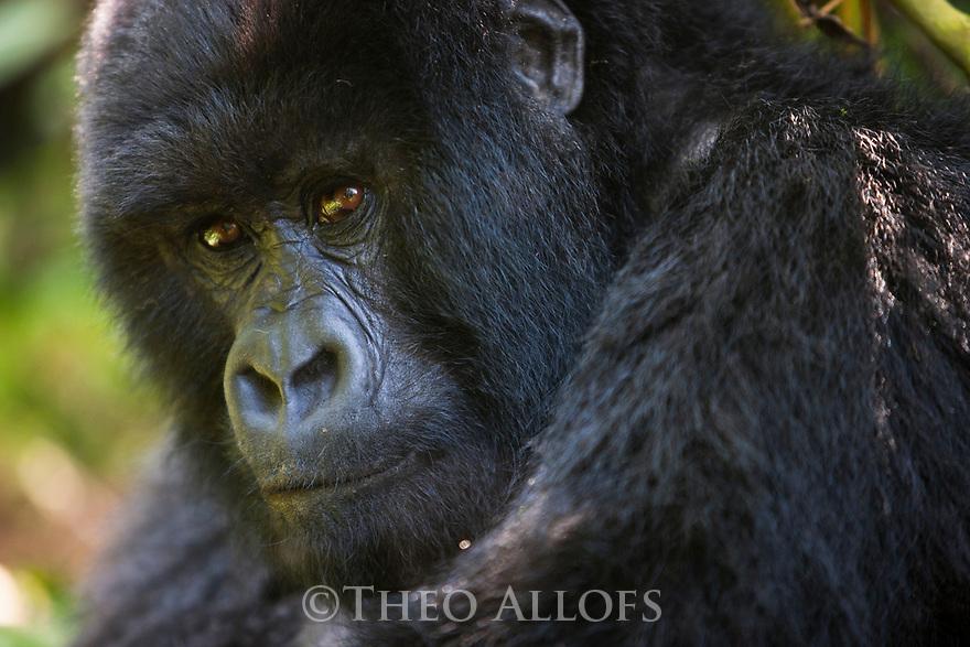 Rwanda, Volcanoes National Park, young male mountain gorilla (Gorilla beringei beringei),