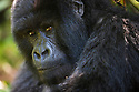 Rwanda, Volcanoes National Park, young male mountain gorilla (Gorilla beringei beringei),