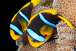 Taveuni, Fiji; a pair of Clark's Anemonefish (Amphiprion clarkii) swimming amongst a magnificent anemone