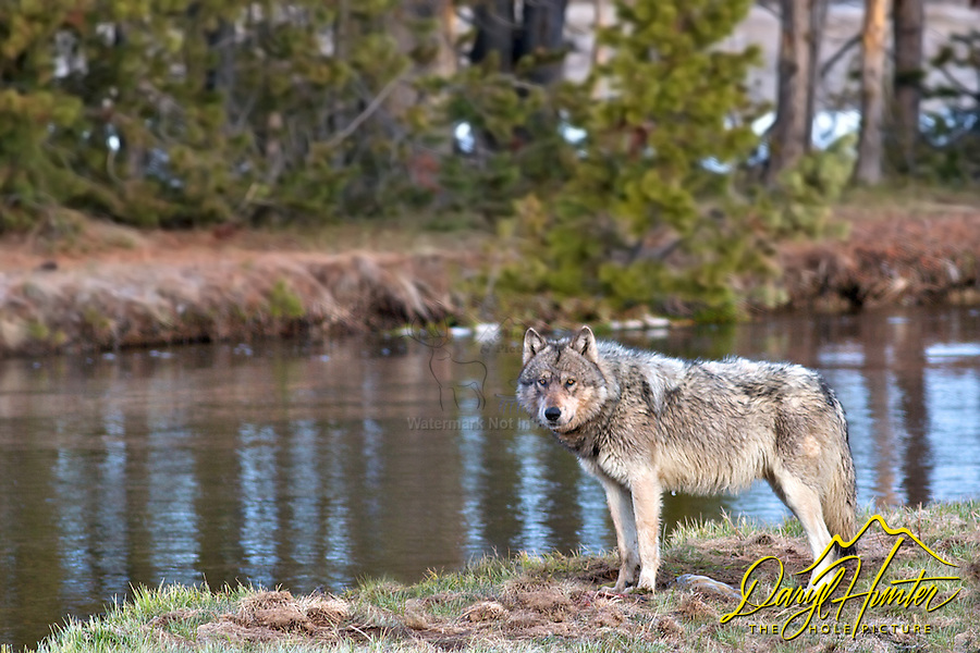 Grey Yellowstone Wolf, Gibbon River, Yellowstone National Park, Wyoming